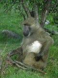 Babouin d'Afrique mangeant quelques écrous Image libre de droits