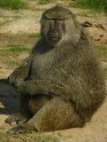 Babouin d'Afrique mangeant quelques écrous Photo libre de droits