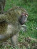 Babouin d'Afrique mangeant quelques écrous Photos libres de droits