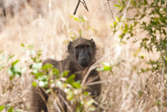 Babouin dans le buisson Photographie stock libre de droits