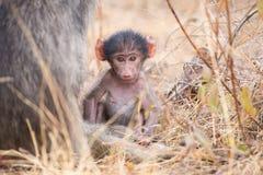 Babouin de bébé près de mère dans l'herbe pour la sécurité Photo libre de droits