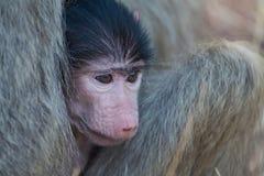 Babouin de bébé se cachant dans le corps de la mère pour la sécurité Photographie stock libre de droits