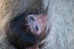 Babouin de bébé se cachant dans le corps de la mère pour la sécurité Photographie stock
