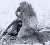 Babouin de bébé se cachant dans le corps de la mère pour la sécurité Photo libre de droits
