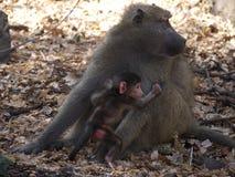 Babouin de Chacma avec le nourrisson Images libres de droits