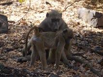 Babouin de Chacma avec le nourrisson Photos stock