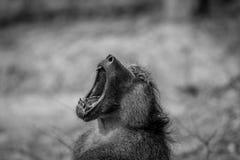 Babouin de Chacma baîllant dans le Kruger photo libre de droits
