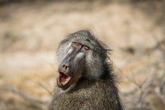 Babouin de Chacma baîllant dans le Kruger photographie stock