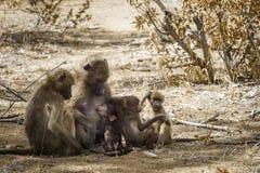 Babouin de Chacma en parc national de Kruger, Afrique du Sud images libres de droits