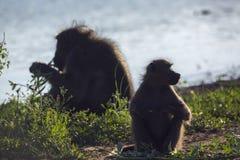 Babouin de Chacma en parc national de Kruger, Afrique du Sud photographie stock