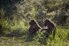 Babouin de Chacma en parc national de Kruger, Afrique du Sud image libre de droits