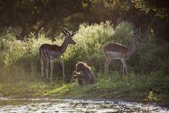 Babouin de Chacma en parc national de Kruger, Afrique du Sud images stock