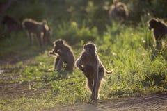 Babouin de Chacma en parc national de Kruger, Afrique du Sud photos stock