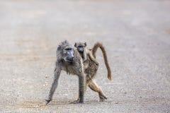 Babouin de Chacma en parc national de Kruger, Afrique du Sud photographie stock libre de droits