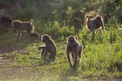 Babouin de Chacma en parc national de Kruger, Afrique du Sud image stock
