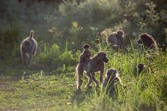 Babouin de Chacma en parc national de Kruger, Afrique du Sud photos libres de droits