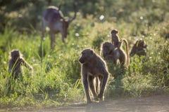 Babouin de Chacma en parc national de Kruger, Afrique du Sud photo stock