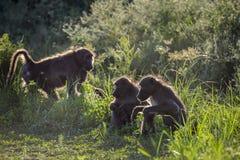 Babouin de Chacma en parc national de Kruger, Afrique du Sud photo libre de droits