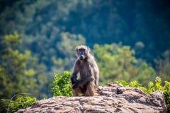 Babouin de Chacma se reposant sur une roche photos libres de droits