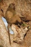 Babouin de Chacma (ursinus de Papio) Photographie stock libre de droits
