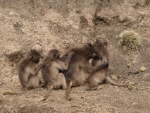 Babouin de Gelada Photo libre de droits