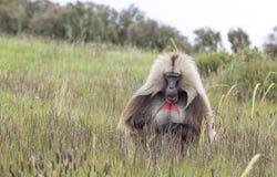 Babouin de Gelada mangeant l'herbe en montagnes de Simien, Ethiopie photos stock
