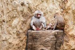 Babouin de hamadryas de famille de babouins Photos libres de droits