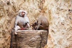 Babouin de hamadryas de famille de babouins Images stock
