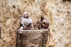 Babouin de hamadryas de famille de babouins Photos stock