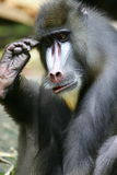 Babouin de Mandrill Photos stock