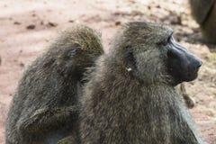 Babouin en Tanzanie image libre de droits