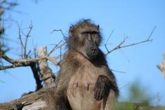 Babouin femelle Photos libres de droits