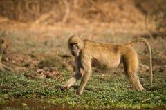 Babouin jaune image libre de droits