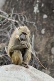 Babouin jaune pensif Photo libre de droits