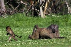 Babouin mâle et sa progéniture de chéri Photos libres de droits