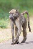 Babouin marchant le long d'une route recherchant le problème Image libre de droits