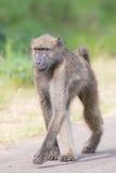 Babouin marchant le long d'une route recherchant le problème Images stock