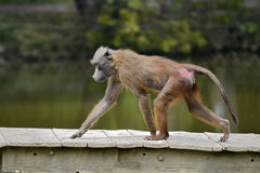 Babouin marchant sur les plancks en bois photographie stock libre de droits