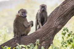 Babouin - parc national de Tarangire - réservation de faune en Tanzanie, Image libre de droits