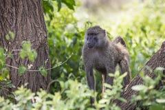 Babouin - parc national de Tarangire - réservation de faune en Tanzanie, Images stock