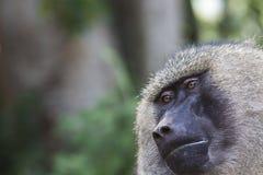 Babouin - parc national de Tarangire - réservation de faune en Tanzanie, Photographie stock libre de droits