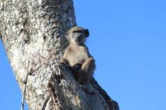 Babouin se reposant dans un arbre Image stock