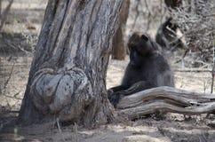 Babouin se reposant sous un arbre photos stock