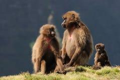 Babouins éthiopiens de gelada Photographie stock libre de droits