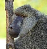 babouins Photo libre de droits