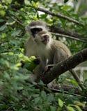 babouins Images libres de droits