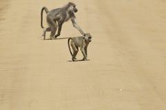 Babouins dans la route photo stock