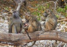 Babouins de Chacma photographie stock libre de droits