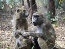 Babouins de Chacma Photos libres de droits