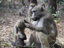 Babouins de Chacma Photo libre de droits